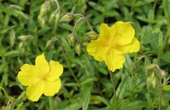 Thumbnail Helianthemum 'Golden Queen' – Sonnenröschen