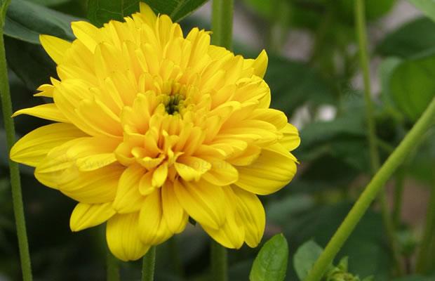 helianthus 39 triomphe de gand 39 stauden sonnenblume pflanzenreich. Black Bedroom Furniture Sets. Home Design Ideas