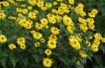 Thumbnail Heliopsis helianthoides var. scabra 'Sommersonne' – Sonnenauge