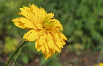 Thumbnail Heliopsis helianthoides var. scabra – Sonnenauge