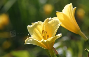 Thumbnail Hemerocallis 'Pennys Worth' – Taglilie