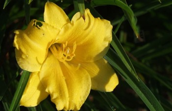 Thumbnail Hemerocallis minor – Kleine Taglilie