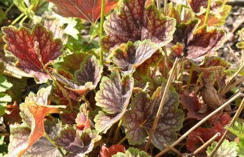 Thumbnail Heuchera 'Beauty Colour®' – Purpurglöckchen