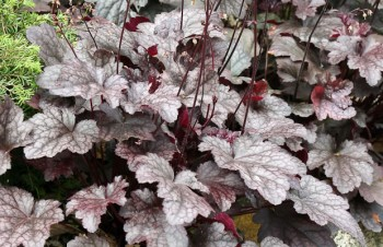Thumbnail Heuchera 'Can-can' – Purpurglöckchen