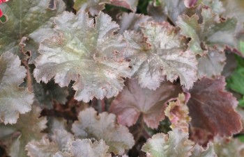 Thumbnail Heuchera 'Chocolate Ruffles' – Purpurglöckchen