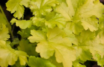 Thumbnail Heuchera 'Lime Rickey' – Purpurglöckchen