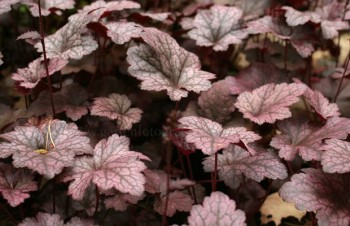 Thumbnail Heuchera 'Plum Pudding' – Purpurglöckchen