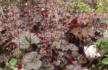 Thumbnail Heuchera villosa 'Palace Purple' – Spitzblättriges Purpurglöckchen