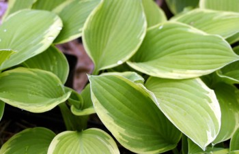 Thumbnail Hosta 'Fragrant Dream' – Funkie