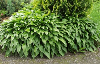 Thumbnail Hosta 'Green Fountain' – Funkie