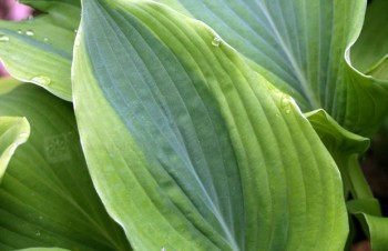 Thumbnail Hosta 'Jewel of the Nile' – Funkie
