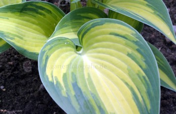 Thumbnail Hosta 'June®' – Funkie