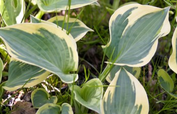 Thumbnail Hosta 'Knockout' – Funkie