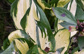 Thumbnail Hosta 'Morning Light' – Funkie