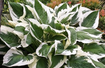 Thumbnail Hosta 'Patriot' – Funkie