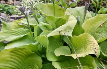 Thumbnail Hosta 'Sum and Substance' – Funkie