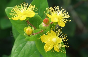 Thumbnail Hypericum x inodorum 'Excellent Flair' – Johanniskraut