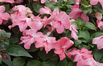 Thumbnail Impatiens New Guinea Group – Edellieschen