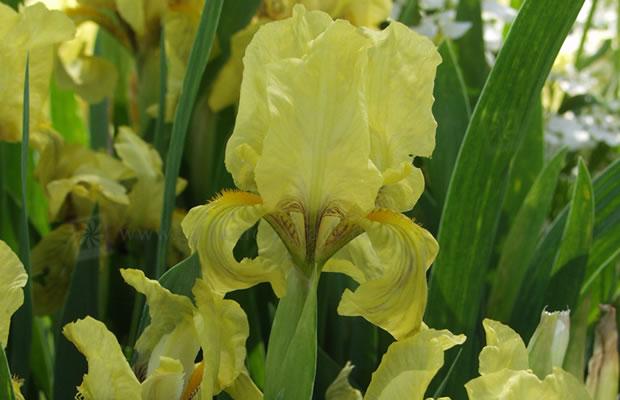 iris 39 gleaming gold 39 niedrige bartiris pflanzenreich. Black Bedroom Furniture Sets. Home Design Ideas