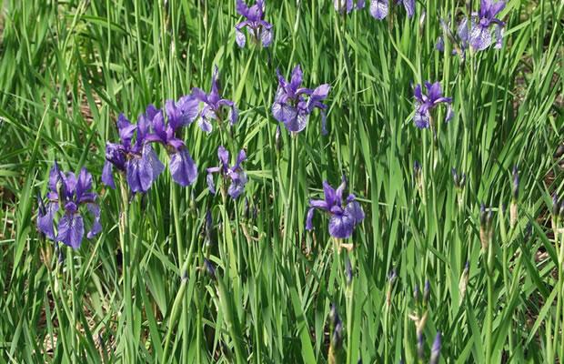 iris versicolor verschiedenfarbige schwertlilie pflanzenreich. Black Bedroom Furniture Sets. Home Design Ideas