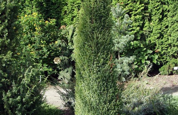 juniperus communis 39 gold cone 39 wacholder pflanzenreich. Black Bedroom Furniture Sets. Home Design Ideas