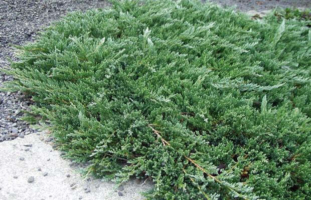juniperus horizontalis 39 glauca 39 kriech wacholder pflanzenreich. Black Bedroom Furniture Sets. Home Design Ideas