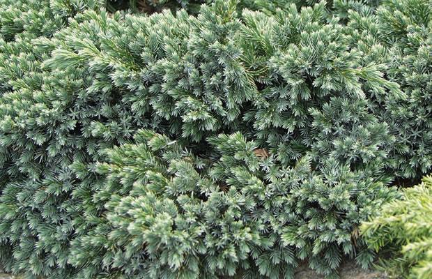 juniperus squamata 39 blue star 39 beschuppter wacholder. Black Bedroom Furniture Sets. Home Design Ideas
