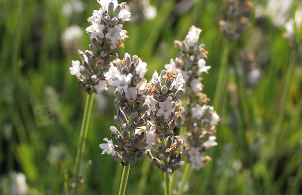 lavandula angustifolia 39 alba 39 wei bl hender lavendel pflanzenreich. Black Bedroom Furniture Sets. Home Design Ideas