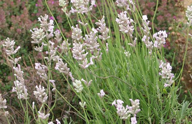 lavandula angustifolia 39 rosea 39 rosabl hender lavendel pflanzenreich. Black Bedroom Furniture Sets. Home Design Ideas