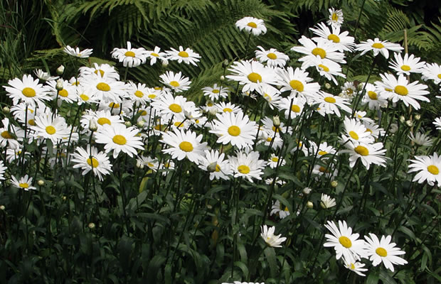 leucanthemum x superbum 39 polaris 39 edelwei margerite pflanzenreich. Black Bedroom Furniture Sets. Home Design Ideas