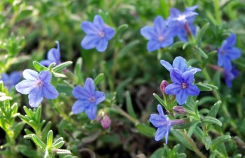 Thumbnail Lithodora diffusa 'Heavenly Blue' – Steinsame