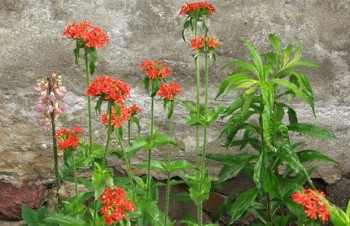 Thumbnail Lychnis chalcedonica – Brennende Liebe