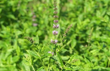 Thumbnail Mentha species – Dionysos-Minze