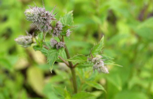 Mentha X Piperita Pfefferminze Pflanzenreich