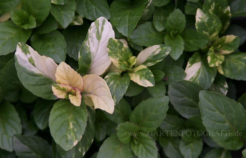 Mentha X Piperita Variegata Weissbunte Pfefferminze Pflanzenreich