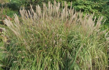 Thumbnail Miscanthus  'Purpurascens' – Purpurnes China-Schilf