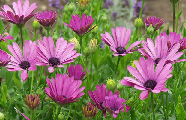 osteospermum ecklonis 39 cape daisy 39 bornholm margerite pflanzenreich. Black Bedroom Furniture Sets. Home Design Ideas