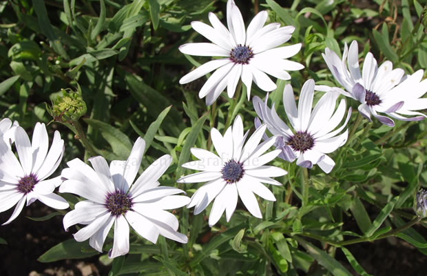 osteospermum ecklonis bornholm margerite pflanzenreich. Black Bedroom Furniture Sets. Home Design Ideas