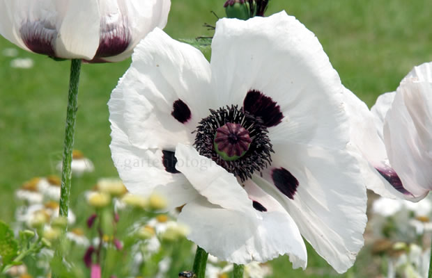 papaver orientale 39 royal wedding 39 t rkischer mohn pflanzenreich. Black Bedroom Furniture Sets. Home Design Ideas