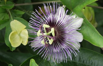 Passiflora 'Shirley'