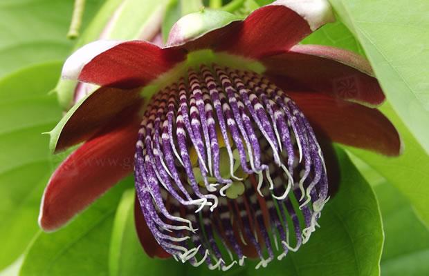passiflora alata passionsblume pflanzenreich. Black Bedroom Furniture Sets. Home Design Ideas