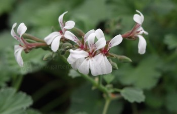 Thumbnail Pelargonium fragrans – Muskatnuss-Pelargonie