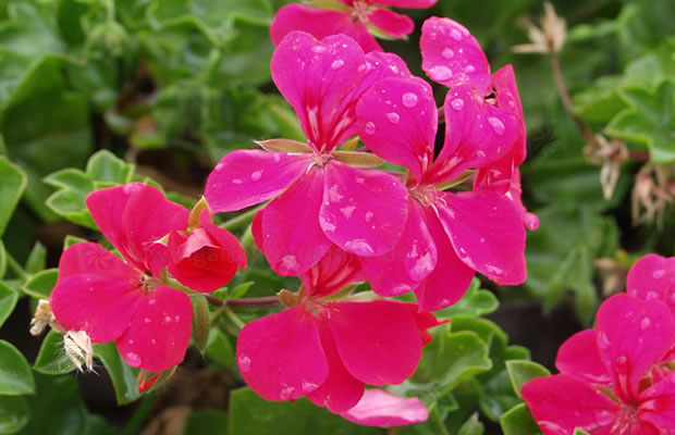 Bild von Pelargonium peltatum 'Happy Face Purple Red' – Efeupelargonie Hängegeranie, Hängepelargonie
