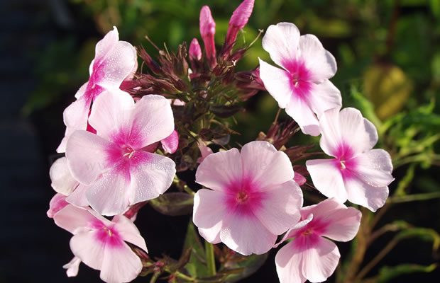 phlox paniculata 39 bright eyes 39 stauden phlox pflanzenreich. Black Bedroom Furniture Sets. Home Design Ideas