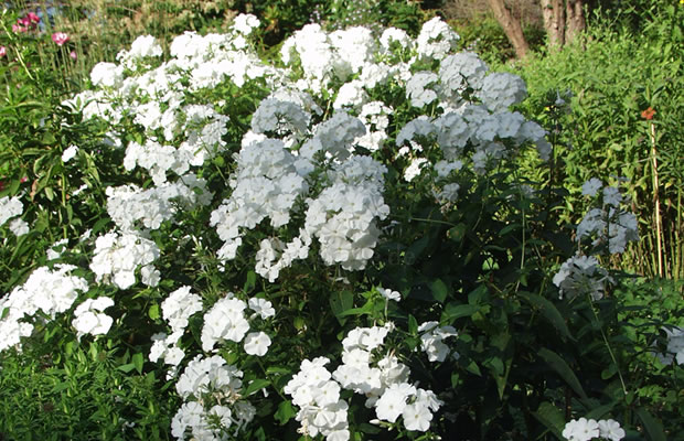 phlox paniculata 39 schneeferner 39 stauden phlox pflanzenreich. Black Bedroom Furniture Sets. Home Design Ideas