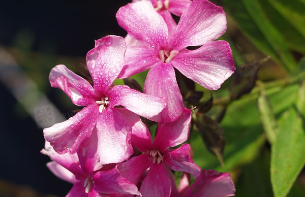 phlox paniculata 39 windsor 39 stauden phlox pflanzenreich. Black Bedroom Furniture Sets. Home Design Ideas