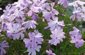 Thumbnail Phlox subulata 'Emerald Cushion Blue' – Moos-Phlox