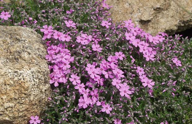 Phlox Subulata Leuchtstern Moos Phlox Pflanzenreich