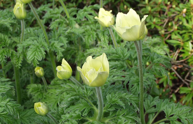 Küchenschelle Vermehren ~ pulsatilla alpina ssp apiifolia gelbe alpen kuhschelle