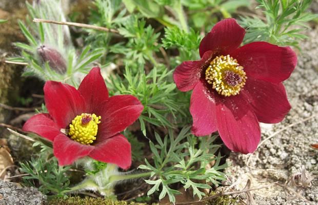 Pulsatilla vulgaris 39 r de klokke 39 rote k chenschelle - Winterharte steingartenpflanzen ...